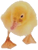 A small cute duck for our Calgary web design services